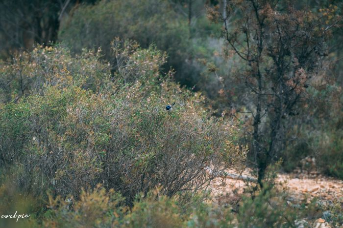 Superb Fairy wren male blue