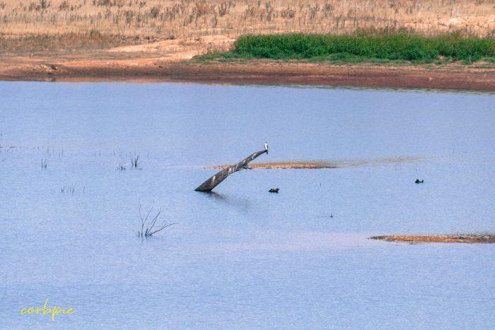Tullaroop Reservoir bird on log