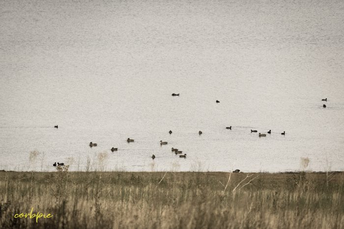 Tullaroop Reservoir ducks