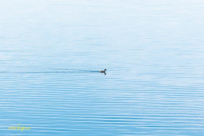 Tullaroop Reservoir water bird