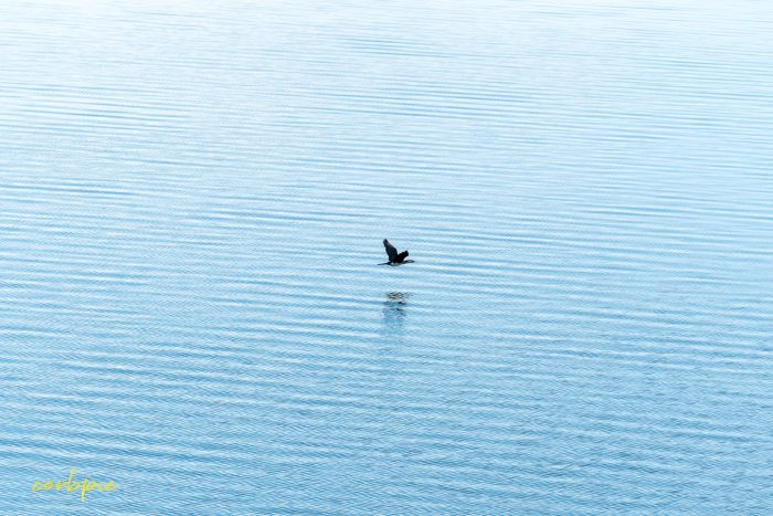 Tullaroop Reservoir waterbird in flight 3