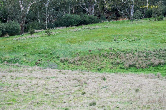 Kangaroo mob 1