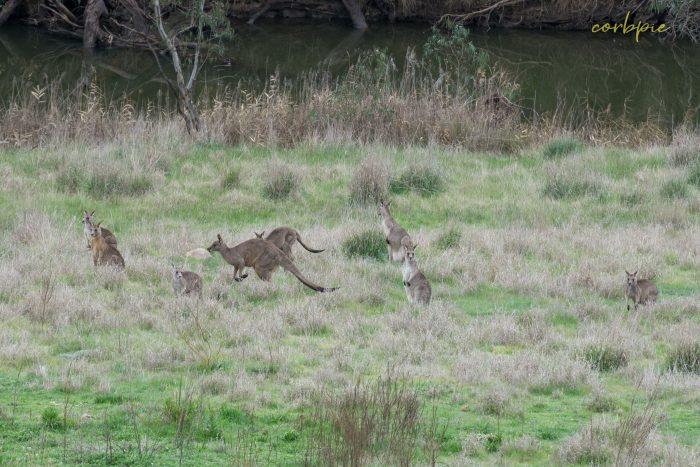 Kangaroo mob 10