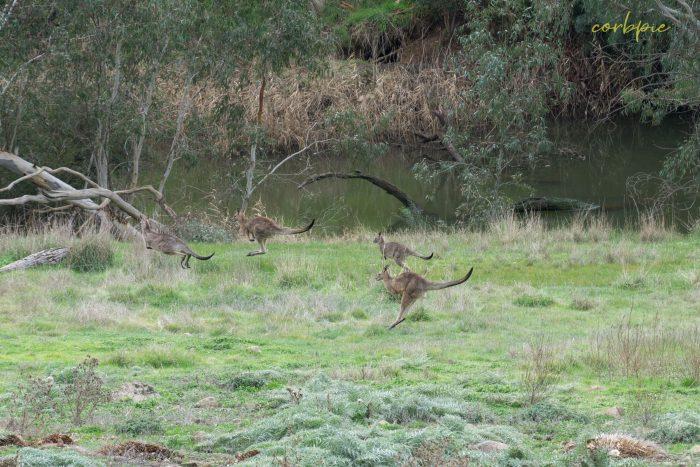 Kangaroo mob 11