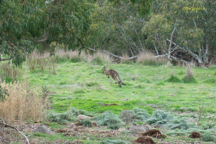 Kangaroo mob 12