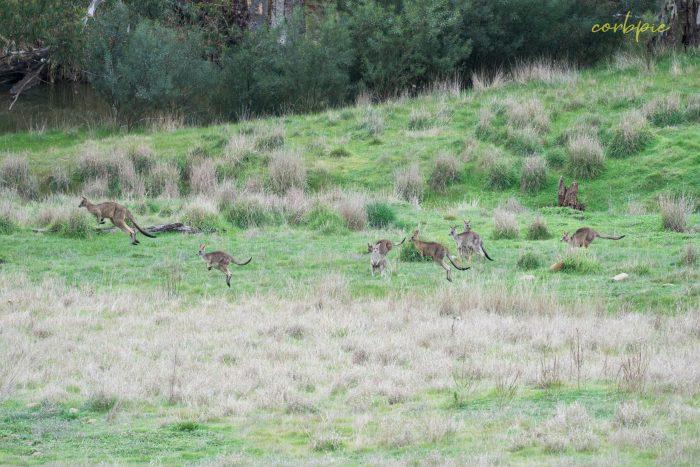 Kangaroo mob 2