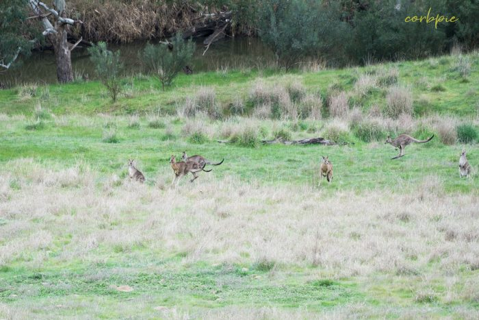 Kangaroo mob 3