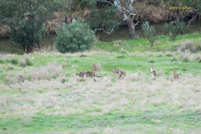 Kangaroo mob 5