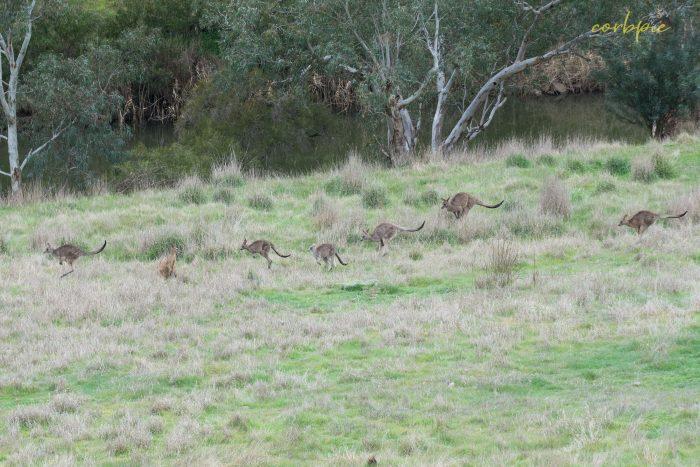 Kangaroo mob 6