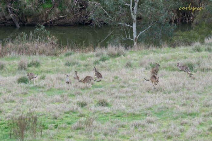 Kangaroo mob 9