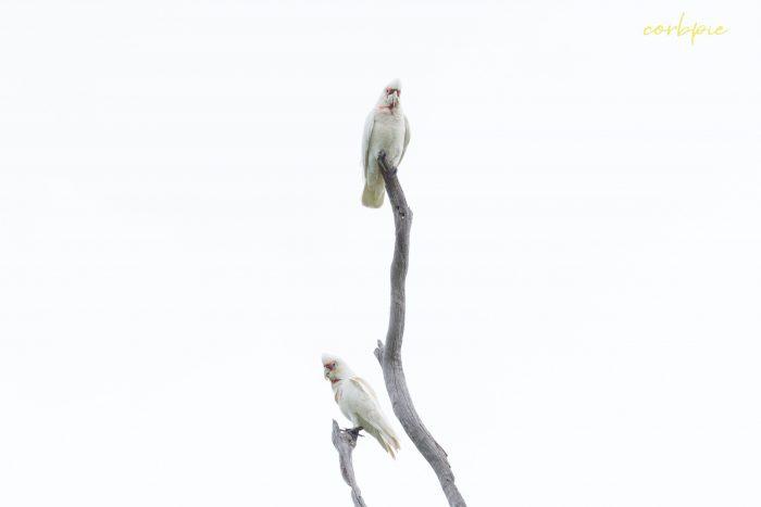 Long billed Corella pair