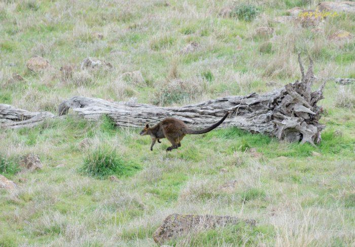 Swamp Wallaby 2