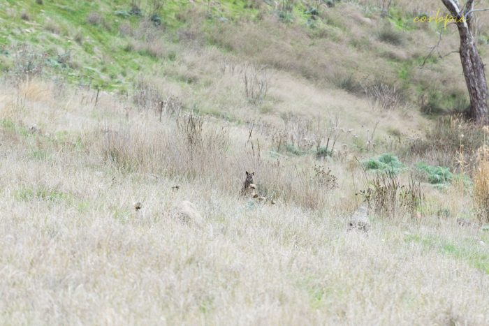 Swamp Wallaby hiding in grass 1