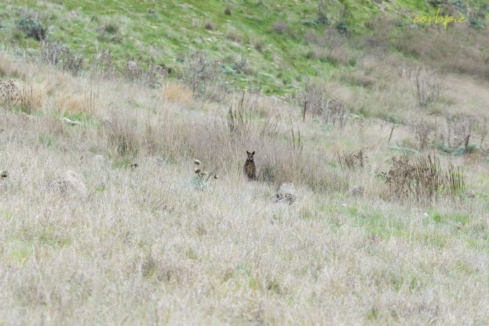 Swamp Wallaby hiding in grass 2