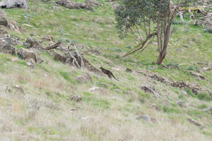 Swamp Wallaby on the move 2