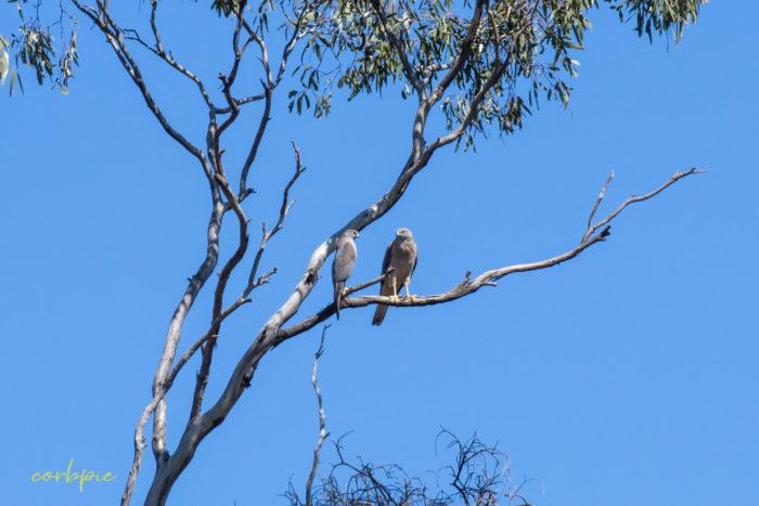 Collared Sparrowhawk 1