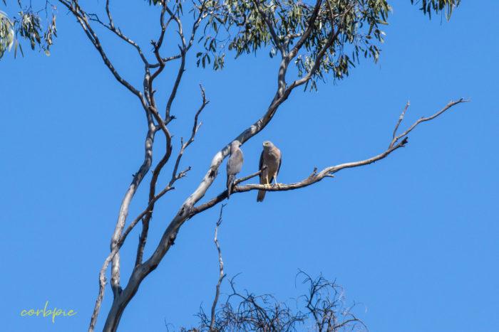 Collared Sparrowhawk 3