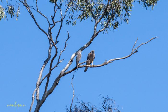Collared Sparrowhawk 4