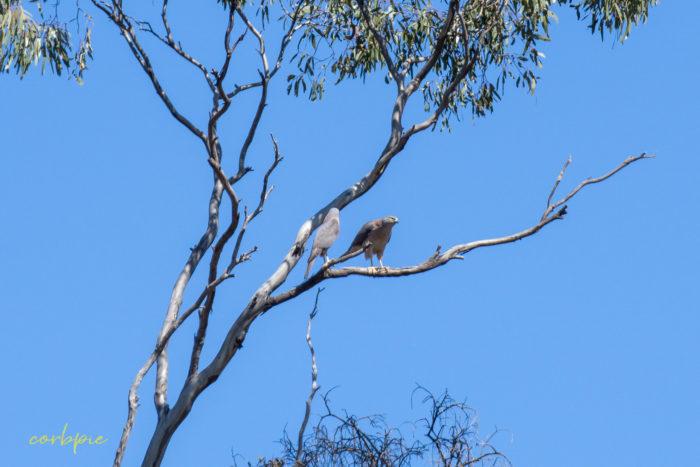 Collared Sparrowhawk 5