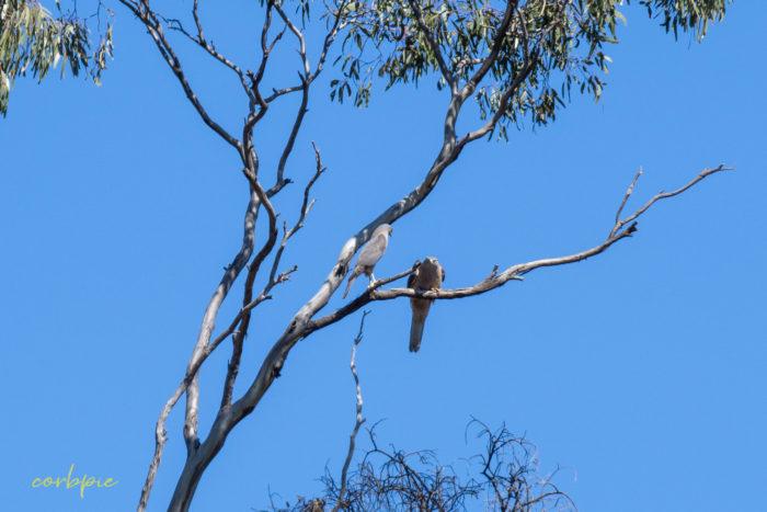 Collared Sparrowhawk 6